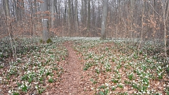 Märzenbecherblüte am Schweineberg bei Hameln©TuS Leese